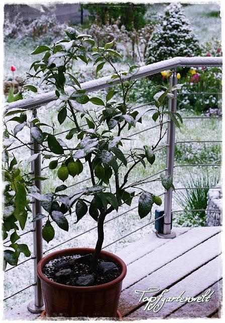 Zitronenbaum im Schnee