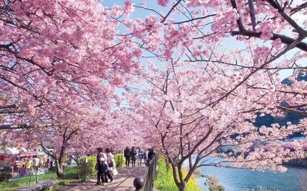 Άνθισαν νωρίτερα οι κερασιές στην Ιαπωνία