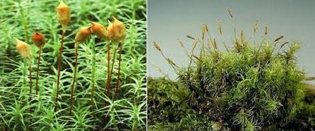info menarik dunia pendidikan khusus ilmu pengethaun alam Lumut daun dan hati