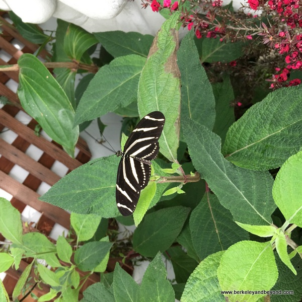 Zebra Longwing butterfly in Conservatory of Flowers in San Francisco, California