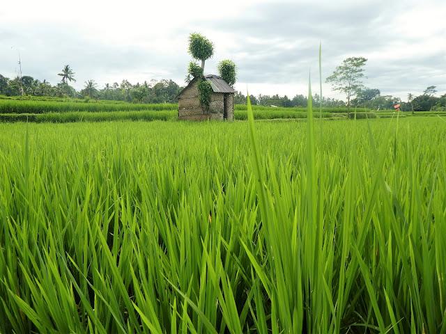 Bali risfält