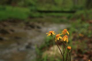 photo of golden ragwort