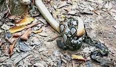 Heboh Pertarungan Piton vs King Kobra di Jalur Hiking