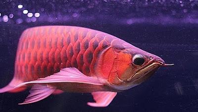cara ternak ikan cupang,cara ternak ikan cupang aduan,ikan arwana,makanan ikan arwana supaya cepat besar,makanan ikan arwana silver,harga ikan arwana,makanan ikan arwana super red,
