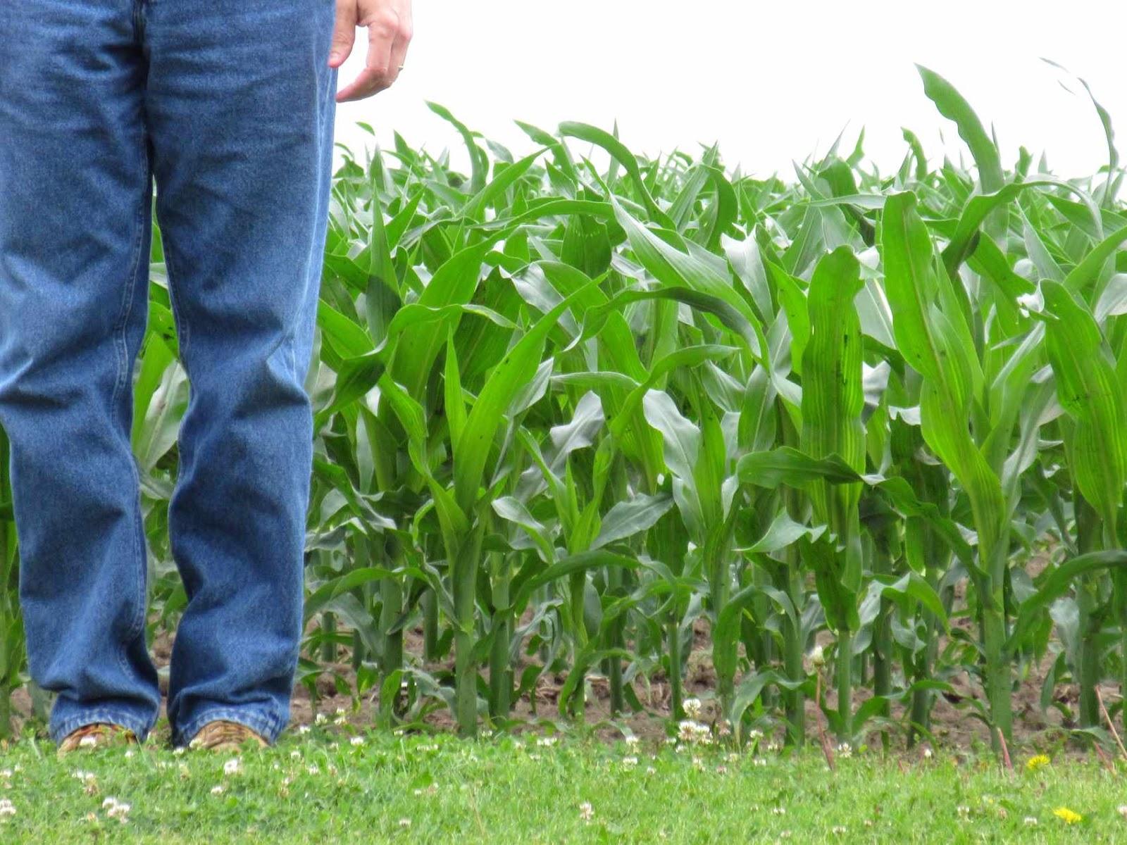 three things very dull indeed corn in the backyard 2016 weeks