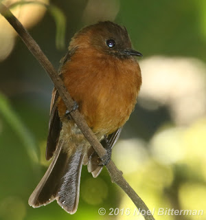 Cinammon Flycatcher