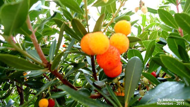 Fruta MEDRONHEIRO - ( Arbutus unedo )