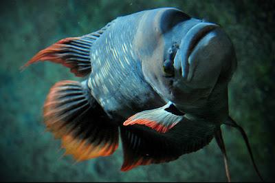 Gurami Sabah Si Ikan Gurame Raksasa Berekor Merah