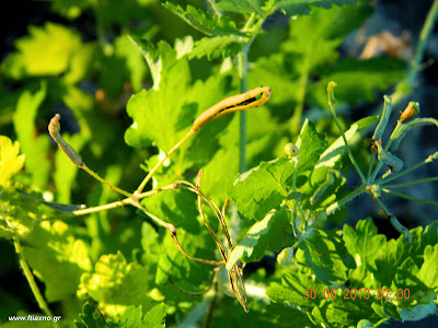 χελιδόνιο σπόροι-Chelidonium Majus