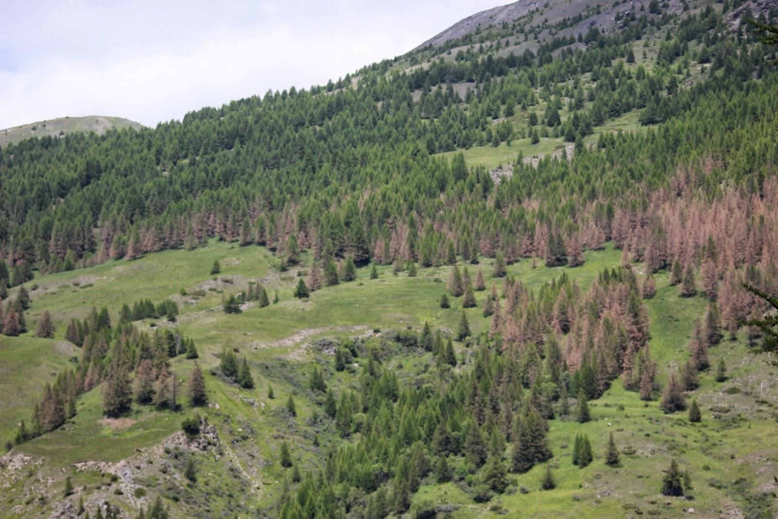 Les forêts de meleze du Queyras