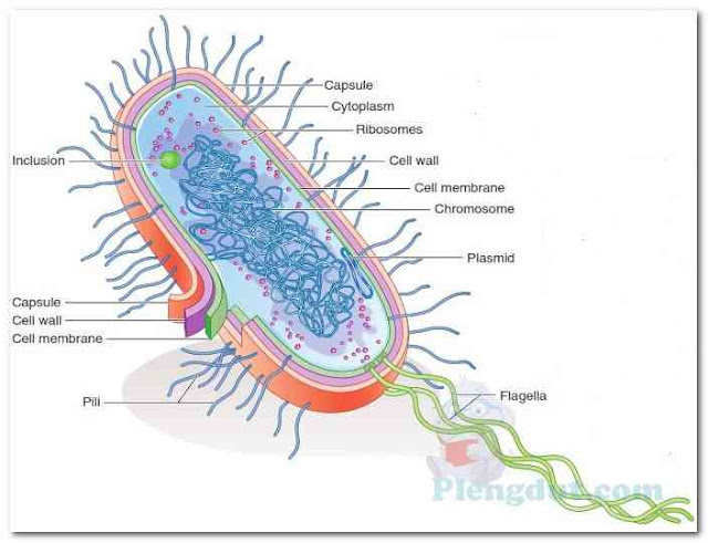 A typical prokaryotic cell.