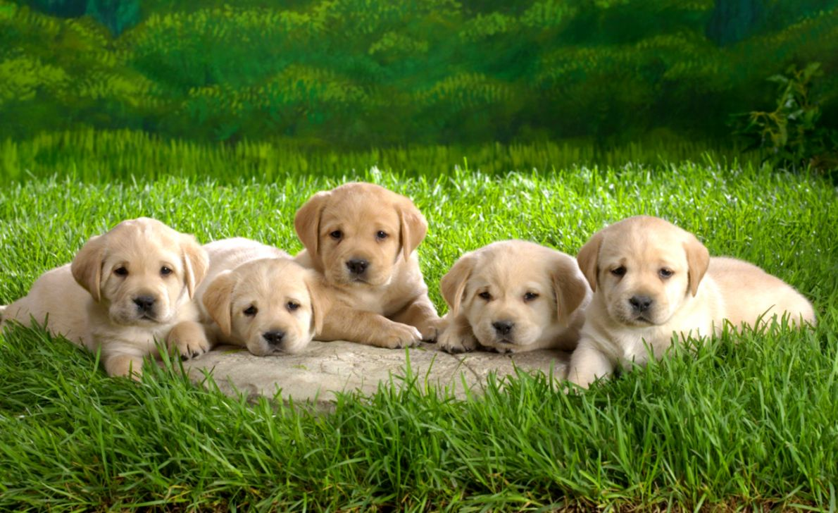 Cute Puppies Animals Hd Wallpaper All In One Wallpapers