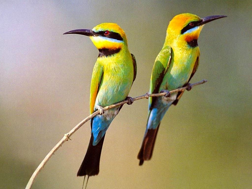 Hd Wallpapers Hdwallpapers Org In Colorful Love Birds Hd