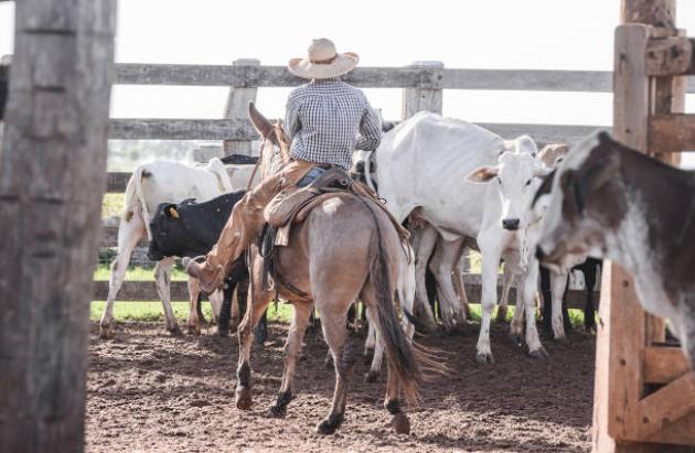 lidando-com-gado-manejo-bovinos-nelore-tucura-cowboy-chapeu-vacinacao-aftosa-curral