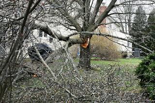 Bradford Pear broken tree