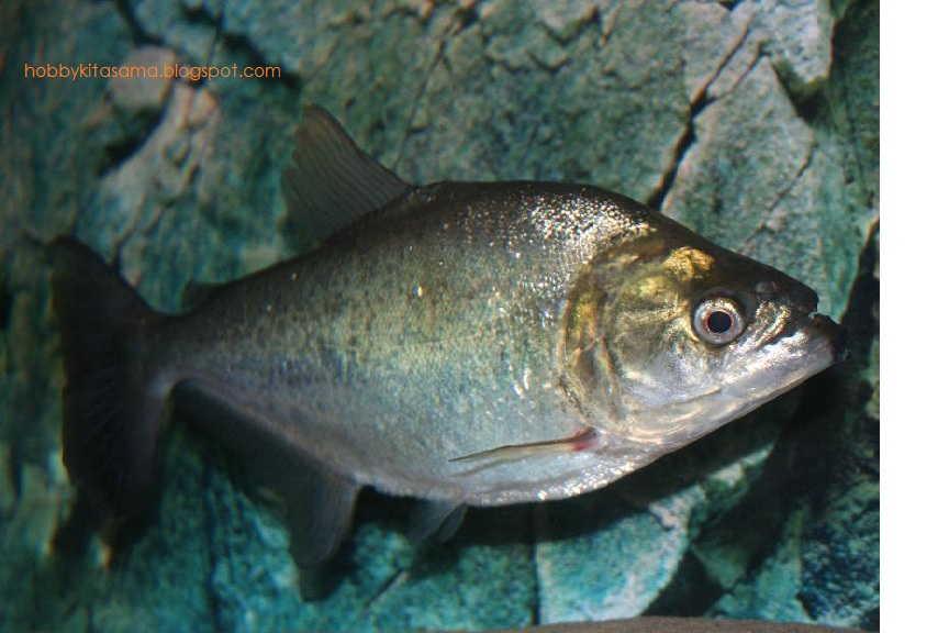 Merawat Ikan Piranha Di Akuarium