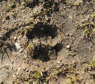 Track of a deer on Creagan Riabhach walk, Deeside