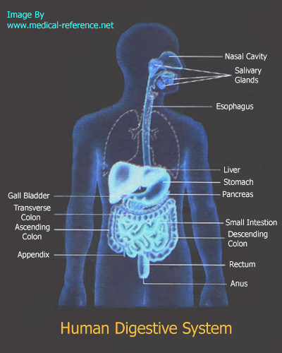 how does the digestive system work?, Cephalic Vein