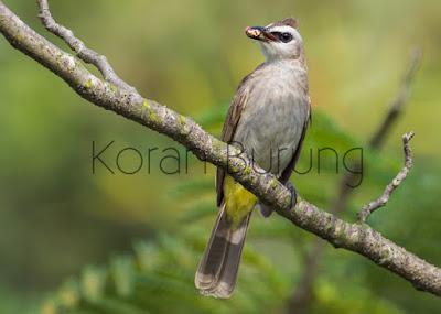 Burung trucukan dalam sangkar ombyokan pastilah ada beberapa yang cantik Tips Memilih Trucukan/Trocokan Dalam Kandang Ombyokan