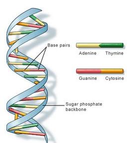 Struktur Heliks DNA