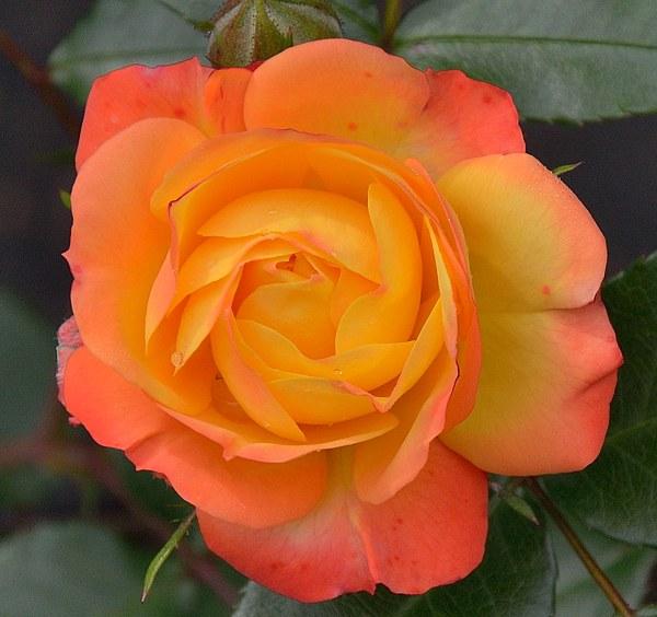 Rumba сорт розы фото