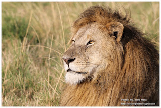 https://bioclicetphotos.blogspot.fr/search/label/Lions%20d%27Afrique