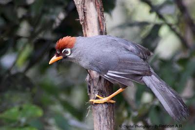 Download Mp3 Suara Burung Poksay Mandarin Gacor
