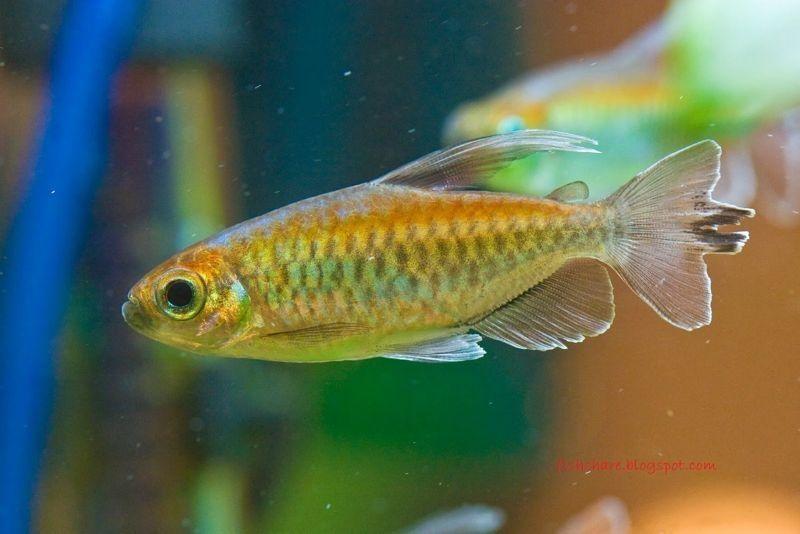 Ikan Aquascape yang Kuat congo Tetra
