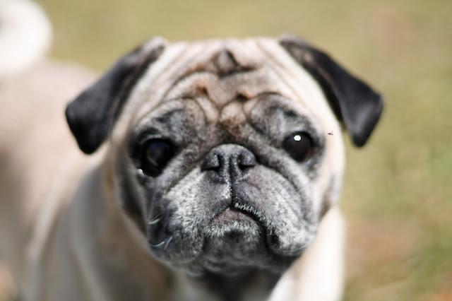 Pug Portraits // Pugs & Pearls Blog