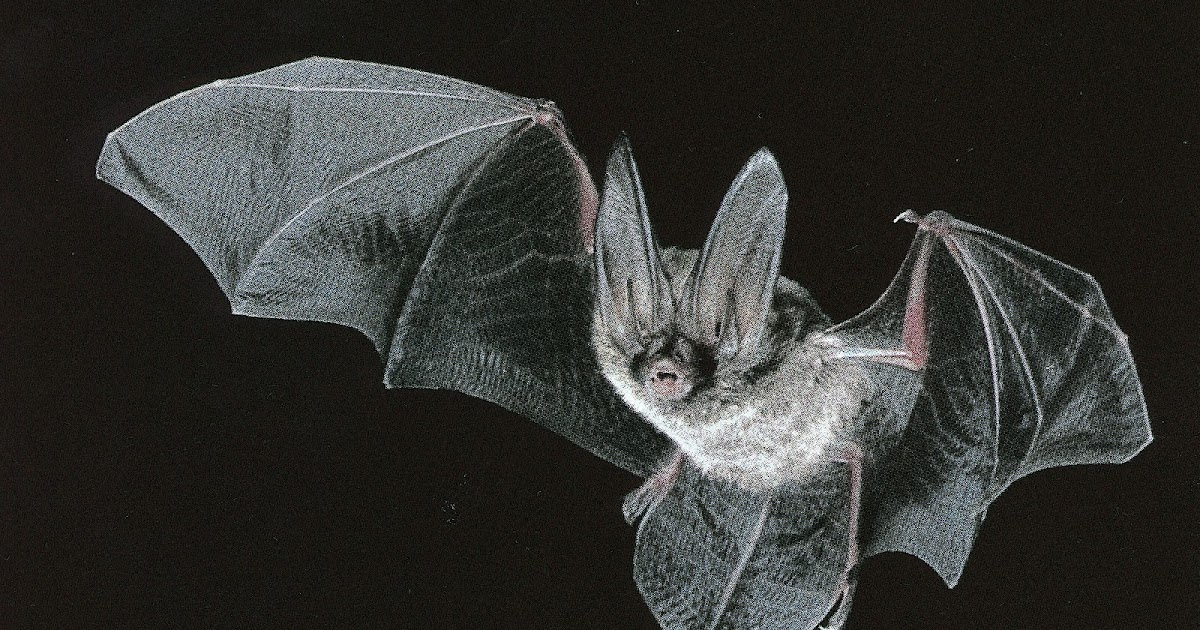 Welcome To Fun2shh World: Latest Bat Flying Animal Wallpapers Download For Free