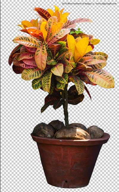 PNG Croton Garden Plant Texture 00004