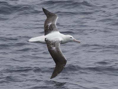 Albatros real Diomedea epomophora