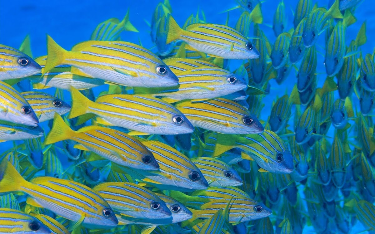 Yellow Fishes Under Sea Widescreen HD Wallpaper