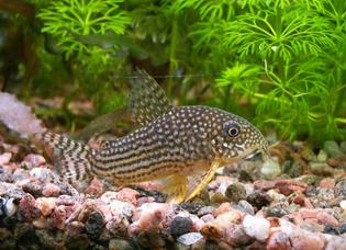 Jenis Ikan Corydoras Starbai Paling Populer