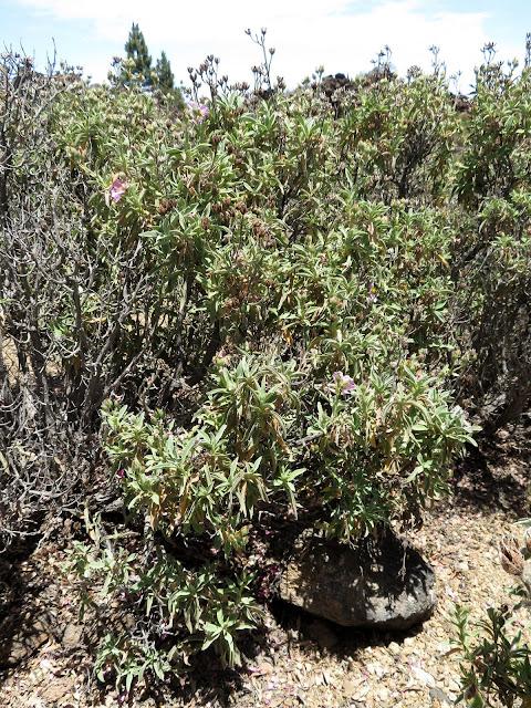 Cistus osbeckiifolius subsp. osbeckiifolius
