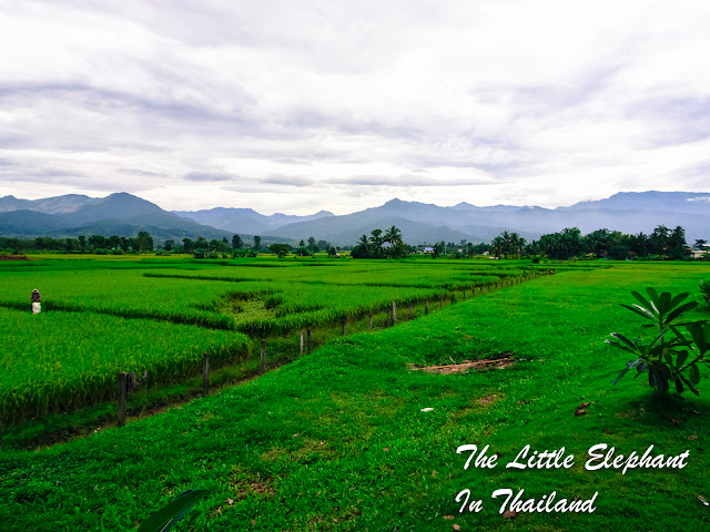 Green rice-fields in Pua, Nan - Thailand