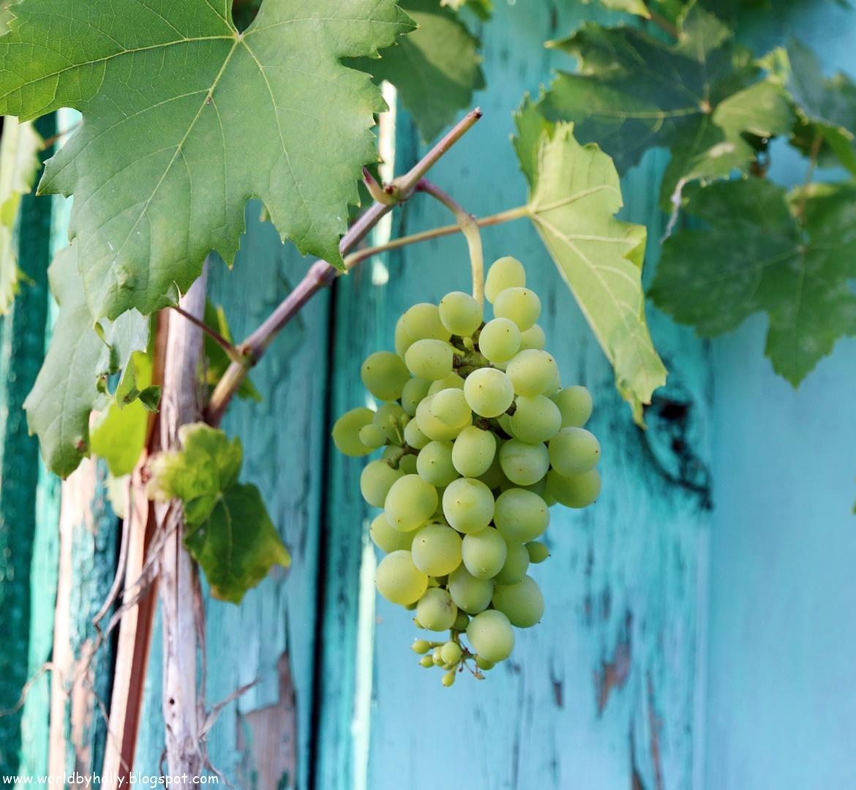 winorośl, winogrono, jak uprawiać winogrona, winogrona z działki