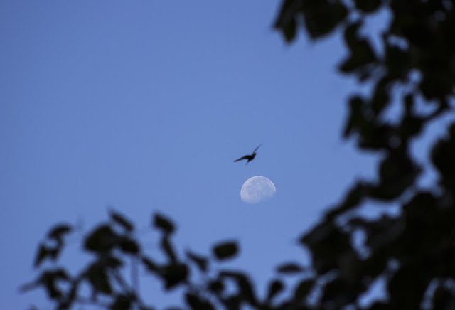 skywatch, moon, morning, bandra, bird, blue sky, mumbai, india, tree leaves, nature,