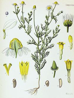 plantas aromaticas y medicinales del bosque mediterraneo