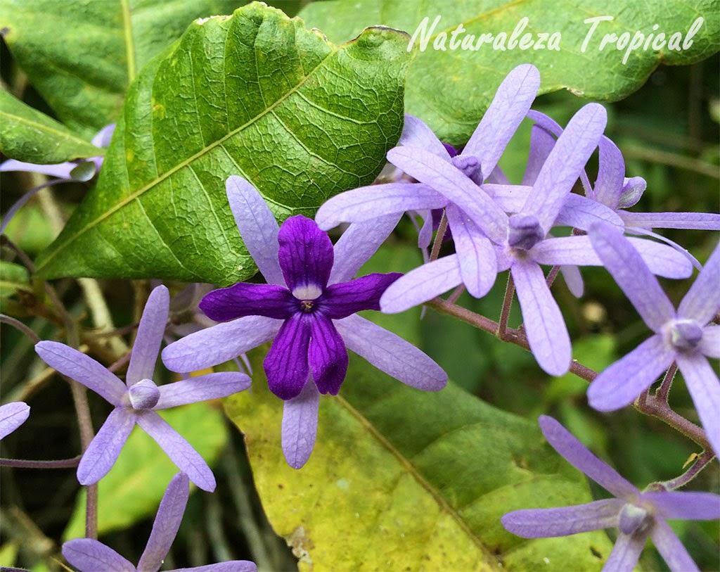 Más fotos de la flor Machiguá, Petra volubilis
