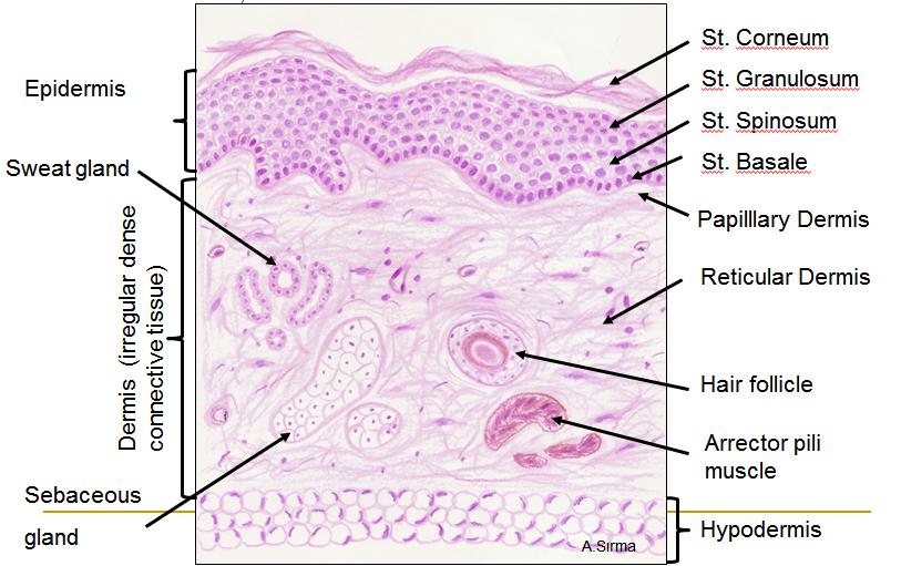 Skin Integumentary System – Integumentary System Worksheet