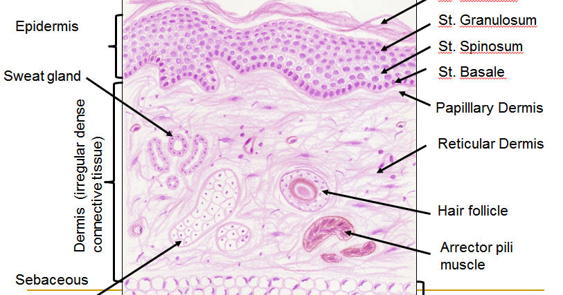 Histology Drawings: Skin (Integumentary System)