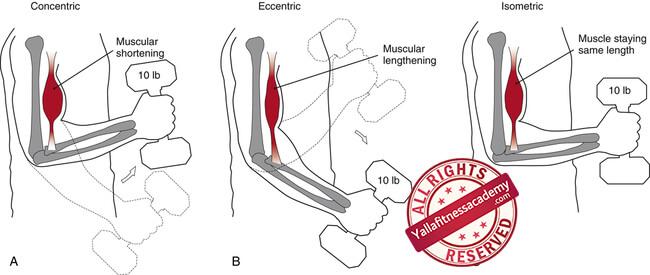 أشكال الإنقباض العضلي - الأيزوميترك و الأيزوتونيك