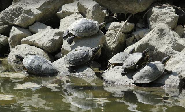 Az MME KHVSZ Országos Kétéltű- és Hüllőtérképezés Programja keretében gyűjtött adatok azt mutatják, hogy a főként megunt háziállatként kikerülő, nem őshonos teknősök közül a vörös- és sárgafülű ékszerteknősök áttelelnek, és néhol szaporodnak is a hazai vizeinkben.