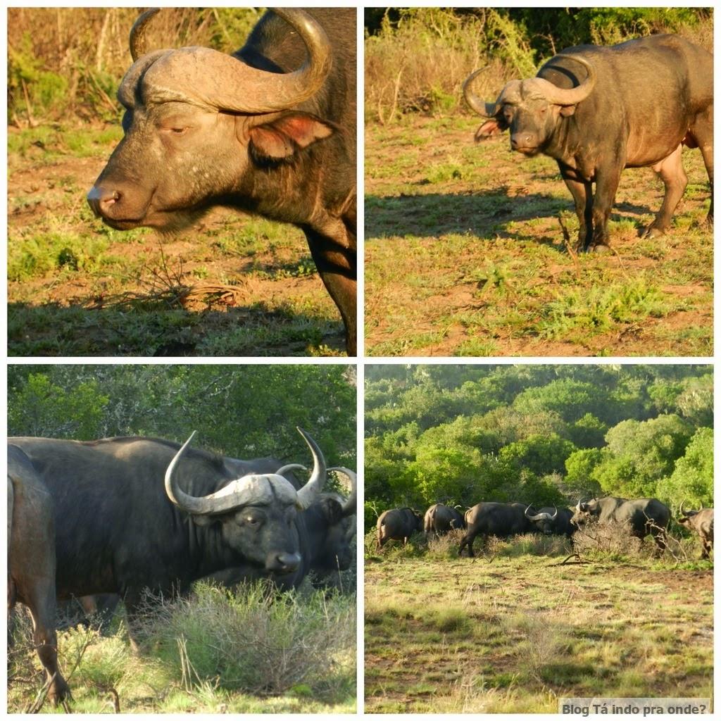 búfalos no safári