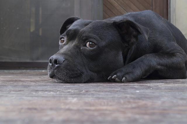 Bệnh cầu trùng ở chó