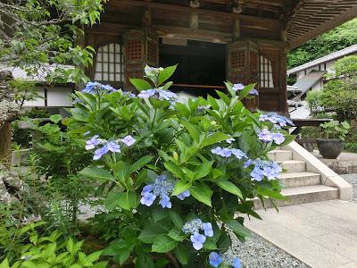 円覚寺のアジサイ