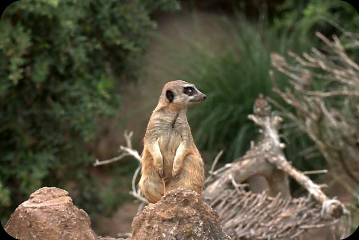 Erdmännchen im Zoo Leipzig | Arthurs Tochter Kocht von Astrid Paul