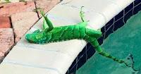 Iguana paralizada