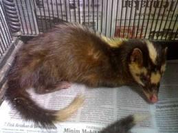 Civet Life Karakteristik Musang Biul Javan Ferret Badge